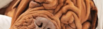 hond met rimpels